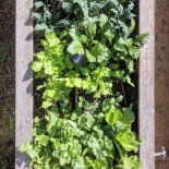 Radish and kale bed, December 2017
